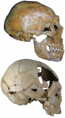 The 50,000-year-old skull of a Neanderthal from the site of Shanidar in Iran (top) has a prominent browridge and more projecting face than the 40,000-year-old Homo sapiens skull found at Pestera cu Oase in Romania. (Erik Trinkaus)